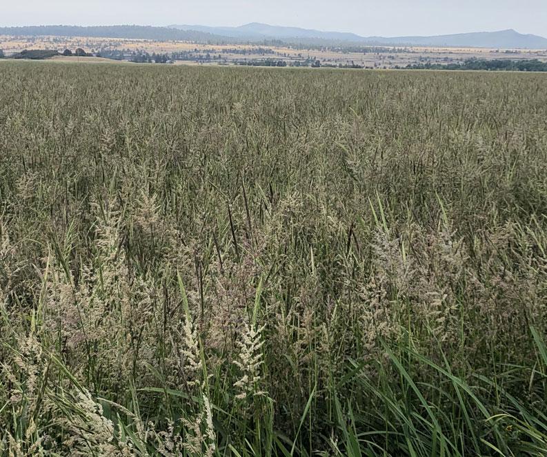Vestal Ranch Wild Rice